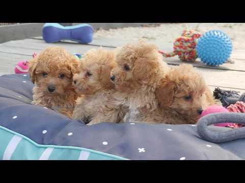 Toy Moodle puppies #CHEVROMIST