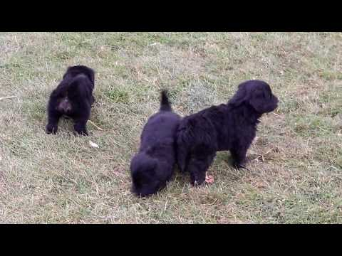 Bernese Mountain Dog Mix Puppies for Sale