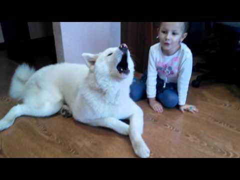 поющий пес акита ину