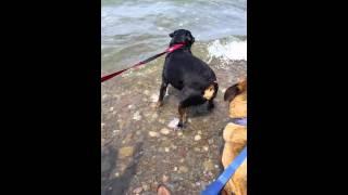 Rottweiler Vs. Lake Ontario