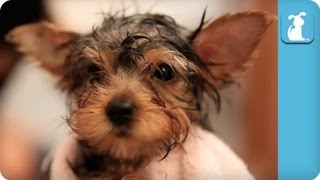 Blow Drying A Fluffy Yorkie Puppy - Puppy Love