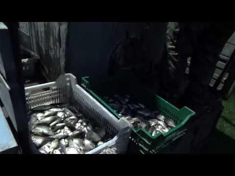Наш водоём 23.10.2017 зарыблен серебряным карасем в количестве более 10 000 шт.!