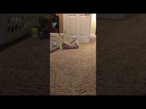 Aurelius the Alaskan Klee Kai | Learning to play fetch for the first time