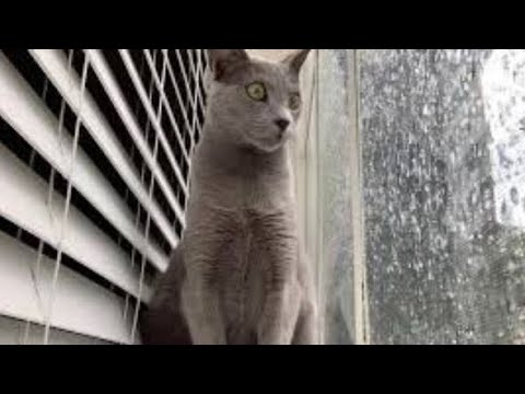 Russian blue cat likes to look outside the window