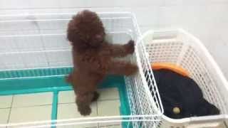 Cute Little Toy Poodle!!!(epic Cage Jump)