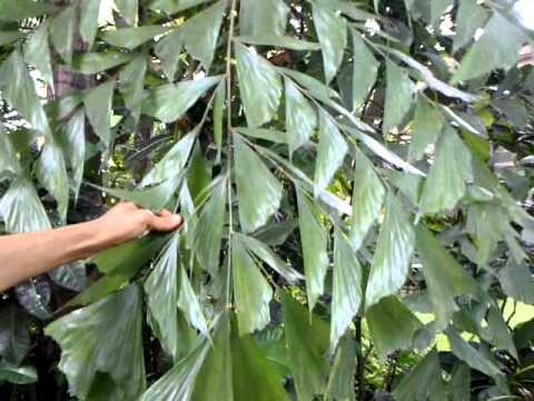 Fishtail Palm -caryota Urens (saved By Taj Hotels)