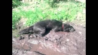 Собака купается в грязи 😛😍😽😜
