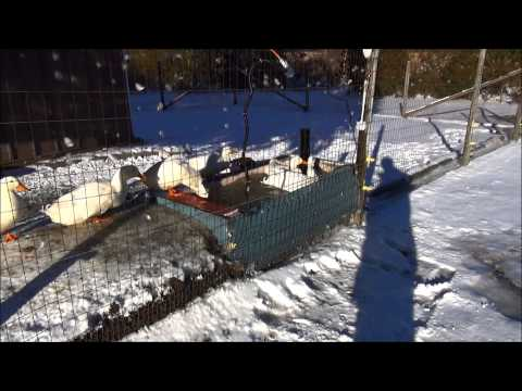 Made In China Garbage Winter Morning Rush Chickens Touring In The Snow #14 Breeding Ducks