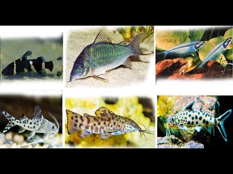 8 Awesome Catfish And Their Basic Info
