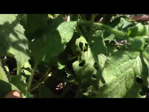 Benefits Of Borage In The Garden