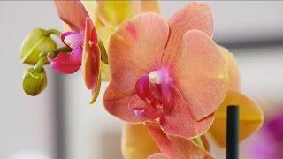 як зробити щоб орхідеї цвіли круглий рік