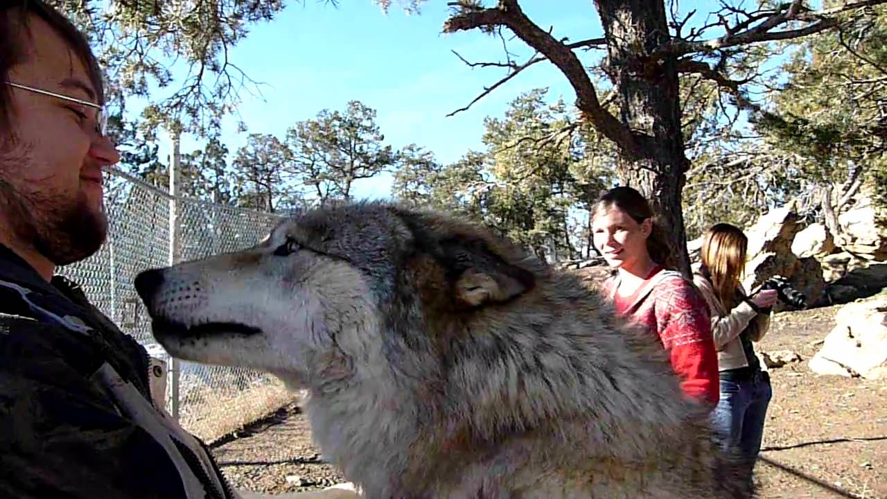 Happy Wolf Attack Youtube