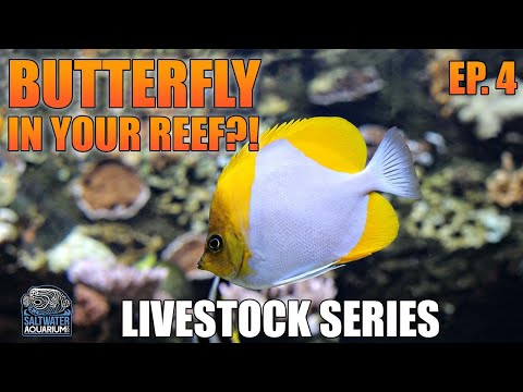 BUTTERFLYFISH In Your Reef Tank - Livestock Series