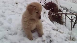 初めての雪に興奮するイブキ。 雪を食べたり、踏みしめたり。 転がして...