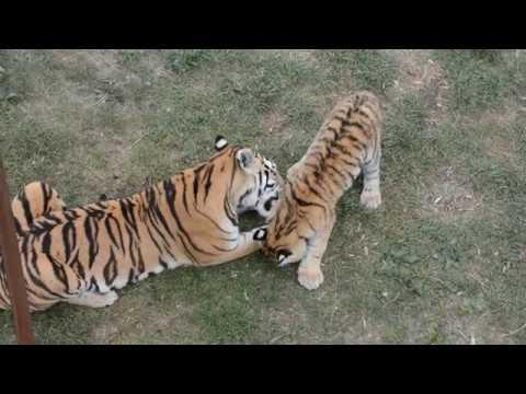 Счастливые тигрята Фриды!