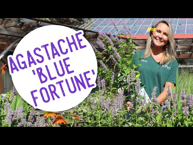Plant of the Week: Agastache 'Blue Fortune'