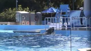 Tilikum Training Session   SeaWorld Orlando