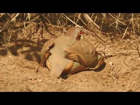 گلگت بلتستان میں سب سے خوبصورت پرندہ چکور ویڈیو دیکھو