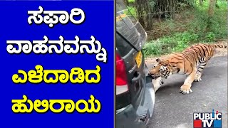 Bengal Tiger Pulls A Safari Vehicle At Bannerghatta National Park