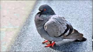 Tauben vergiften im Park - Georg Kreisler ( nuels Arsen Remix )