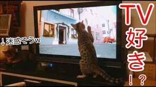 ねこ #ベンガル #アビシニアン はしゃいでる子猫【ベンガル】と 迷惑そうな緑内障猫【アビシニアン】です。 . . . ご視聴頂きありがとうござ...