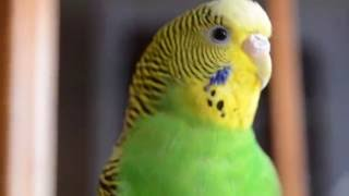 Волнистый Попугай Кеша!