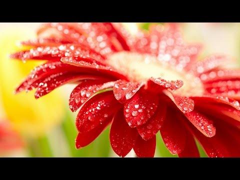 Гербера (лат. Gerbera). Цветы герберы