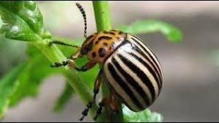 видео Как избавиться от муравьёв в огороде навсегда народными средствами и химией?