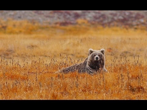 Save The Almost Extinct Himalayan Brown Bear