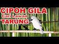 Sirtu Cipoh Gacor Ngotot Ngamuk Cari Musuh Tarung  Mp3 - Mp4 Download