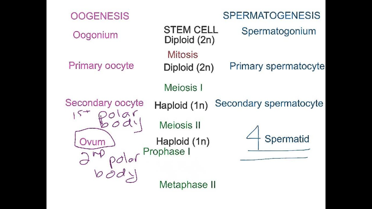 Spermatogenesis and ovogenesis are the processes of formation and formation of germ cells 91