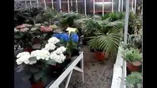 видео Зимний сад в квартире: оранжерея для души