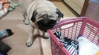 パグ犬ムゥは,今日とてもイライラしています。なにか嫌な事でもあったの...