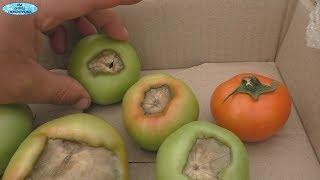 Подкормка, которая не даст заболеть Вашим томатам!