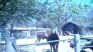 Spring Break Zoo Trip 3 - the bull fight