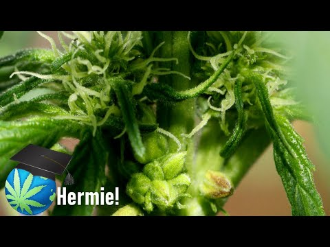 WHY did my plant Hermaphrodite? – Intersex Cannabis Explained + Breeding Out Hermaphrodism
