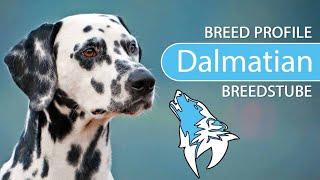 Dalmatian [2020] Breed, Temperament & Training