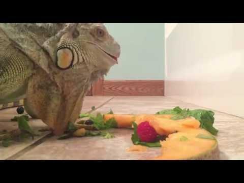 Adult green iguana feeding