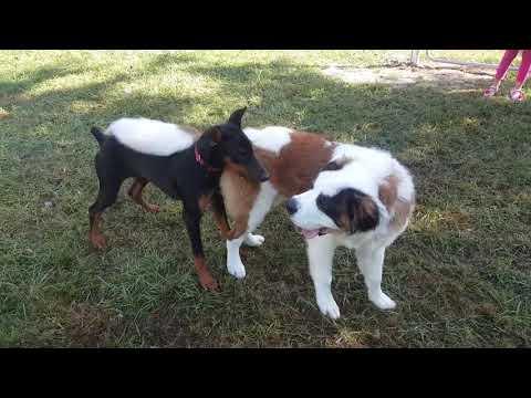 Barrow - Doberman Pinscher Puppy & Sebastian the Saint Bernard Puppy