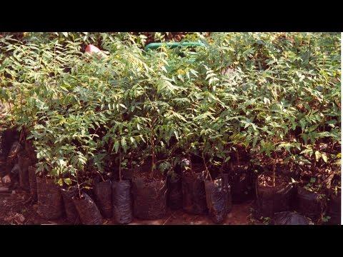 Curso Cultivo e Uso do Nim - Produção de Mudas