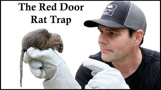 The Red Door Rodent-Catcher Trap Caches a Pack Rat In The Barn. Mousetrap Monday