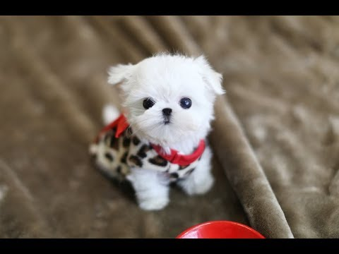 MUST WATCH!! LOOK HOW CUTE THIS MALTESE IS!!!! Teacup Puppy