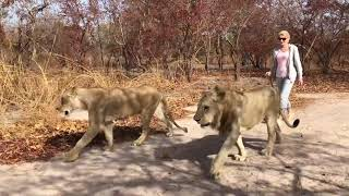 HIT: Blondynka na spacerze  z ... LWAMI /walk with lions/ -  Fathala Reserve - Senegal - Afryka