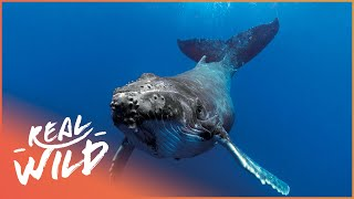 The Sea Shepherds Protecting Humpbacks From Whaling! | The Blue Realm | Real Wild Documentary