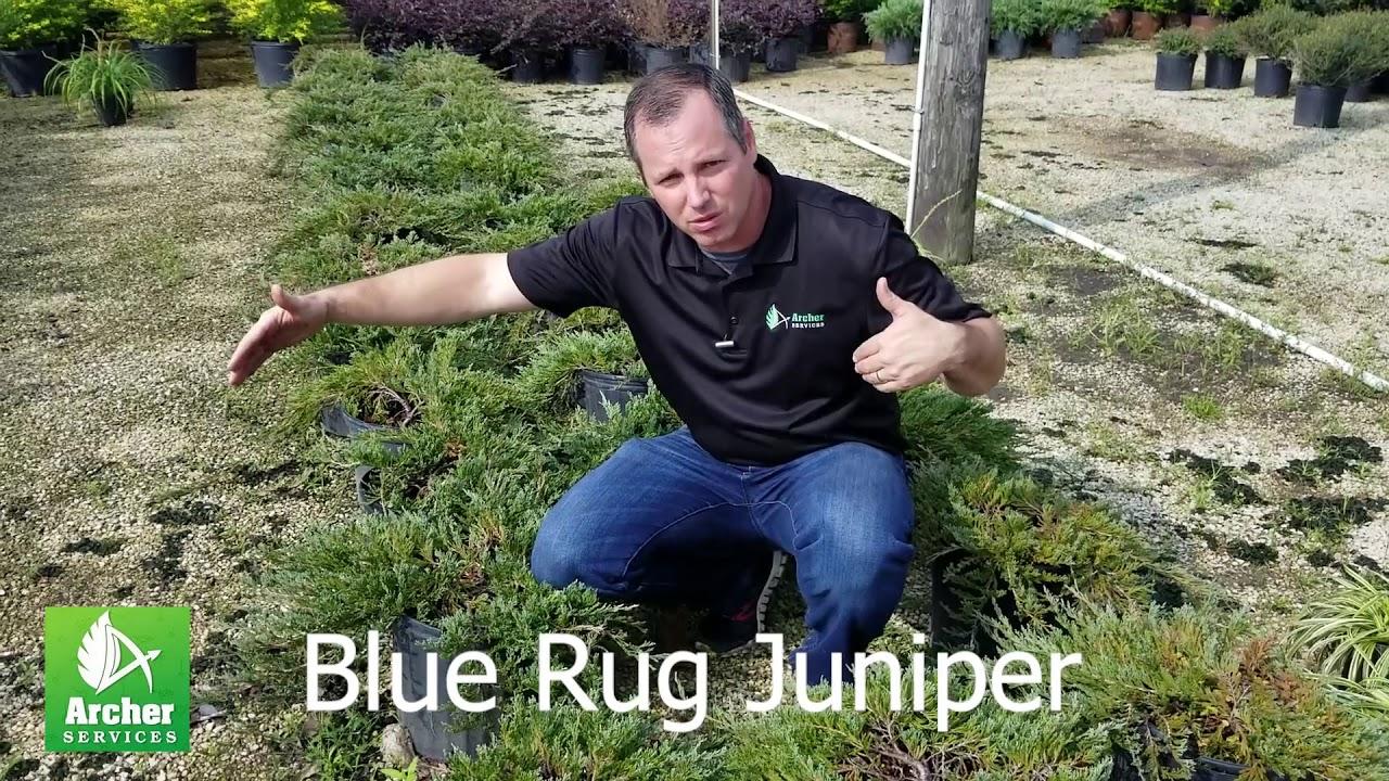 Blue Rug Juniper - Archer Services