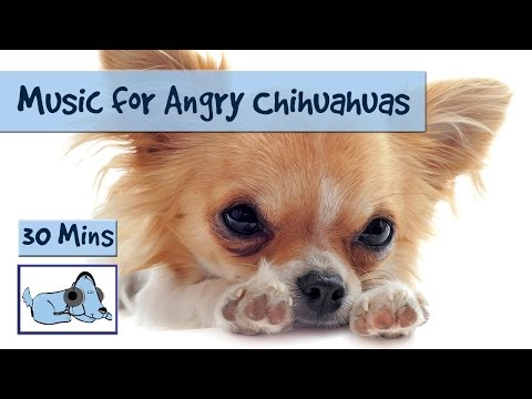 Music for Angry Chihuahuas! Relax Your Dog.