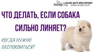 Что делать, если собака сильно линяет? Нужно ли беспокоиться? Ответ ветеринара