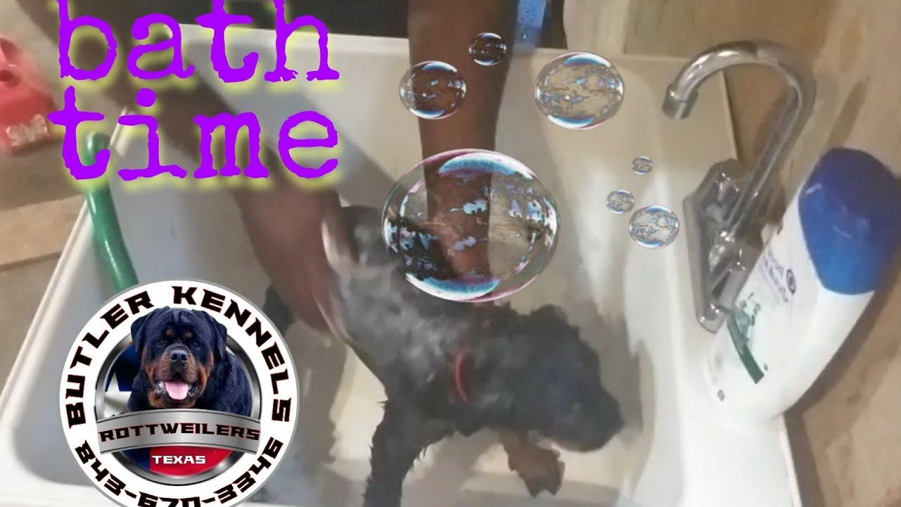 How do we keep our puppies coat so shiny? Bath time 8436703346