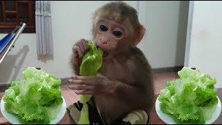 Baby Monkey | Monkey Doo Eats Fresh Vegetables | Iceberg Lettuce