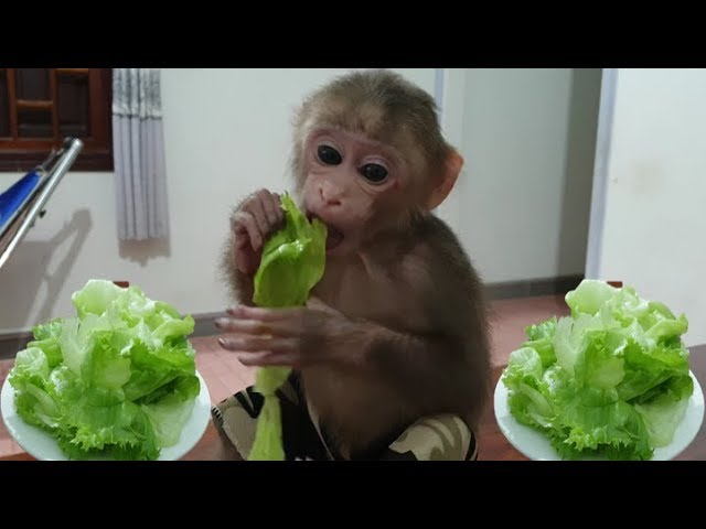 Baby Monkey Monkey Doo Eats Fresh Vegetables Iceberg Lettuce